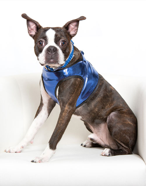 Blue Metallic Dog Harness